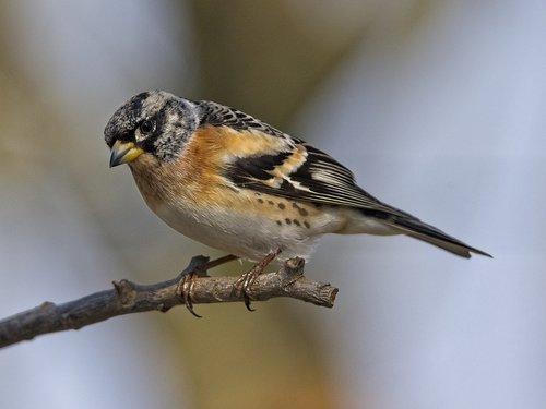 mountain fink  fink  songbird