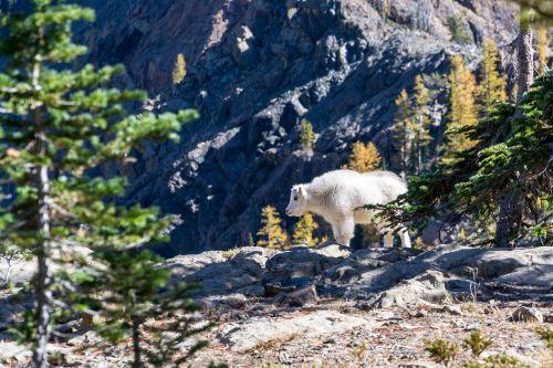 mountain goat goat mammal