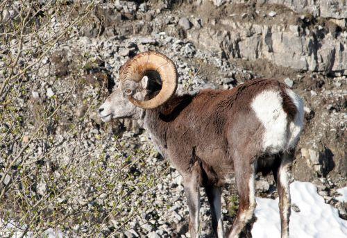 mountain goat animal mountain