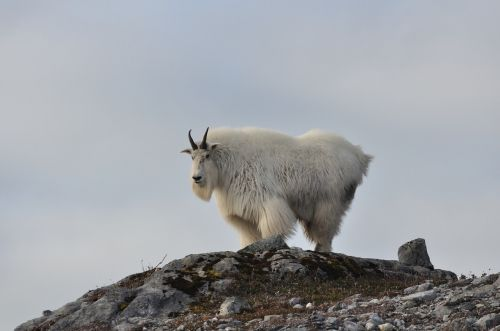 mountain goat peak looking