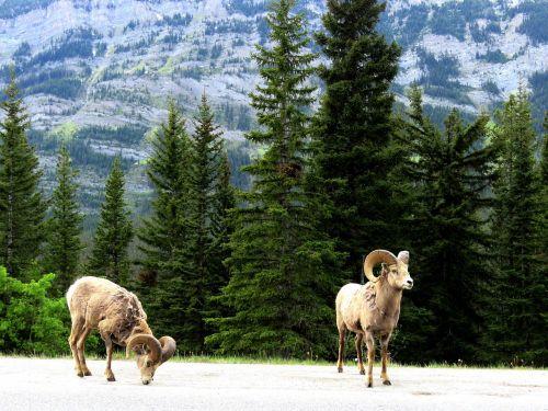 mountain goat wildlife spring