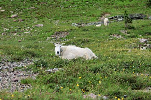 mountain goat animal goat