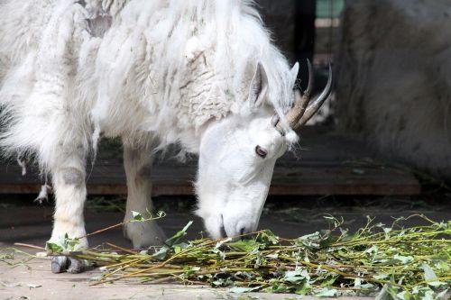 mountain goat white goat goat