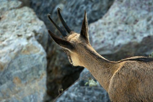 mountain goat gemse inquisitive