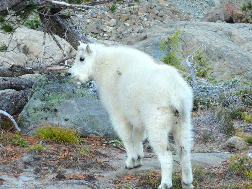 mountain goat wild animal