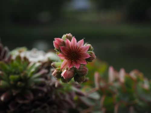 mountain houseleek sempervivum blossom