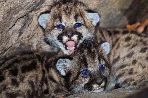kalnų liūtys,cubs,kūdikiai,laukinė gamta,gamta,Puma,puma,katės,gyvūnai,mielas,jaunas,kūdikiai