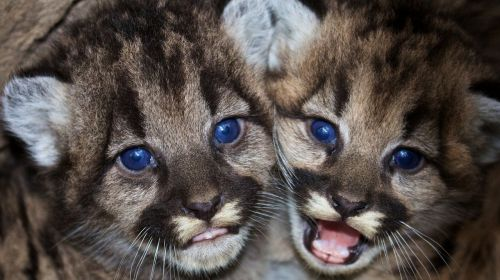 mountain lions cubs babies