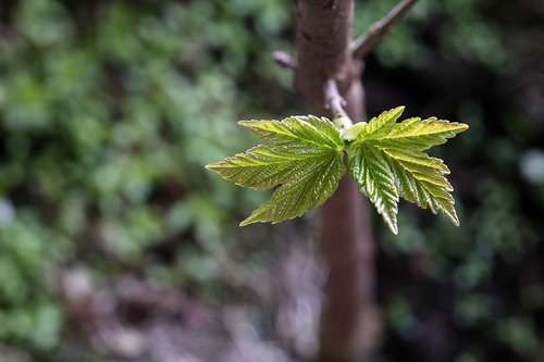 mountain maple  shoots  leaf