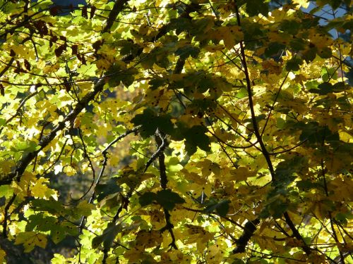 mountain maple leaves green