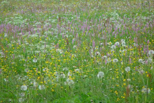mountain meadow wild flowers flower meadow