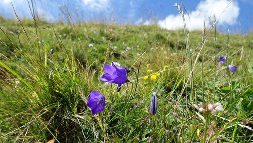 mountain meadow  bellflower  nature