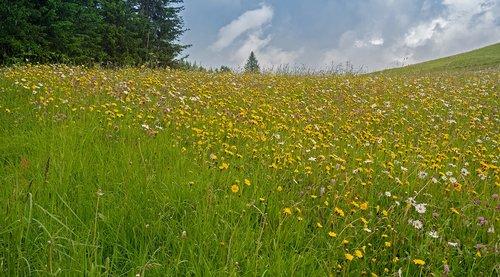 mountain meadow  alpine meadow  mountain flowers