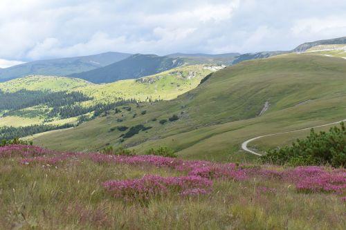 mountain road mountain flowers alpine flowers