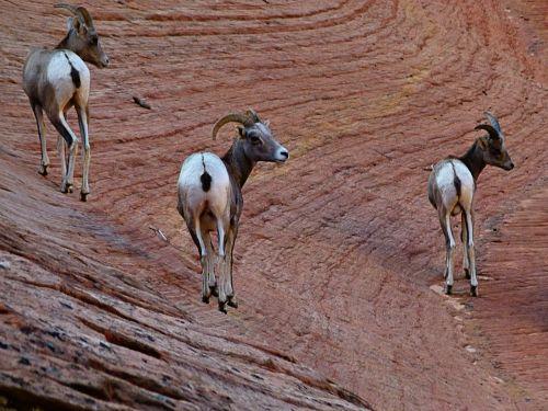 mountain sheep mammal animal