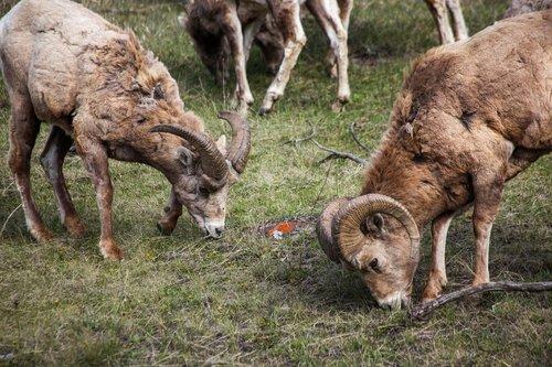 mountain sheep  canada  rockie mountains