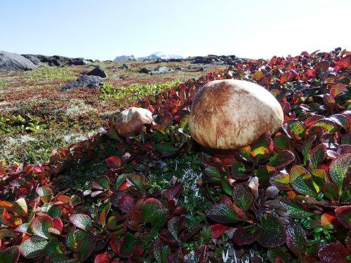 mountain tundra mushrooms autumn