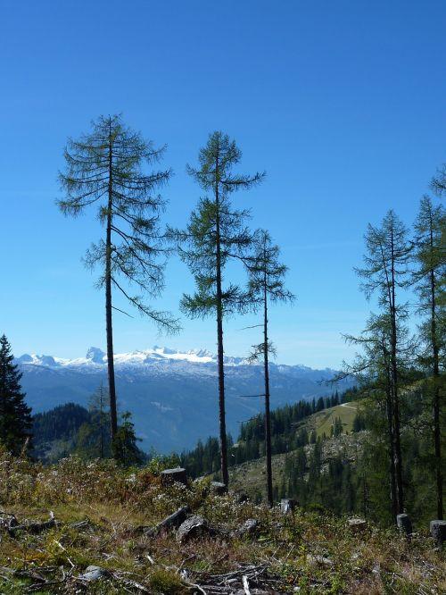 mountains firs austria
