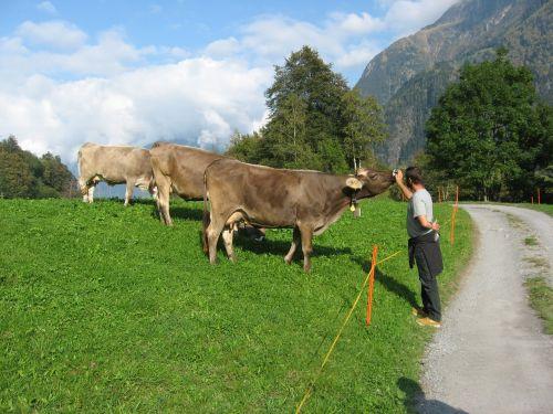 kalnai,karvės,Alpių,gyvūnų mylėtojas,galvijai,Šveicarija,gamta,varpas,dangus,weidetier,kalnų pievos,kaimas,kraštovaizdis,šeima,Keturiasdešimt,gyvūnų pasaulis,žinduolis,fauna,Žemdirbystė,ūkininkai,ūkis,kalnų pasaulis,kalnų ūkininkai