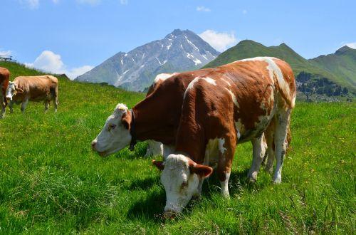 kalnai,karvės,alm,austria,Alpių,zillertal,panorama,tyrol,šventė,karvė,ganykla,kraštovaizdis,pieva,karvė karvė,kalninė karvė,ganyti,galvijai,kalnų pievos,abėcėlė,žolė