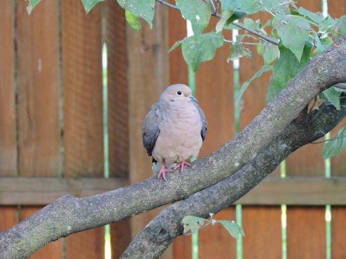 mourning dove doves birds