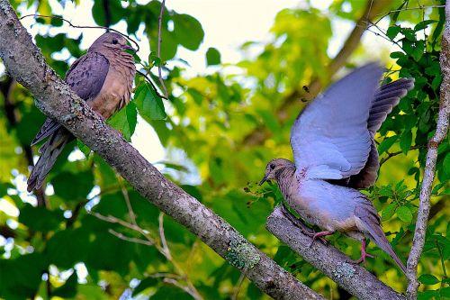 gedulo balandis,paukščiai,laukinė gamta,gamta,gyvūnas,laukiniai,plunksna,paukštis,natūralus,sparnas,ornitologija,portretas,pilka,lauke,aplinka,sustingęs,filialas,birding