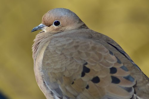 mourning dove  bird  nature
