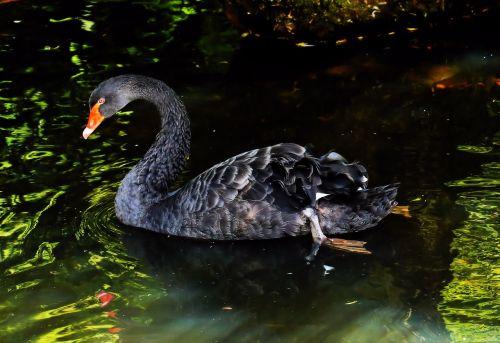 mourning swan black swan australia