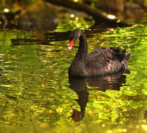 gedulo gulbė,gulbė,juoda,gyvūnas,paukštis,vandens paukštis,veidrodis,vanduo,tvenkinys,plaukti,gamta,ežeras,schwimmvogel
