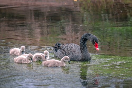 mourning swan  swan  chicks
