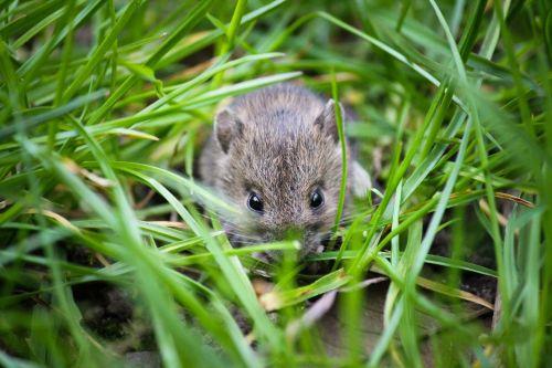 mouse small animal garden