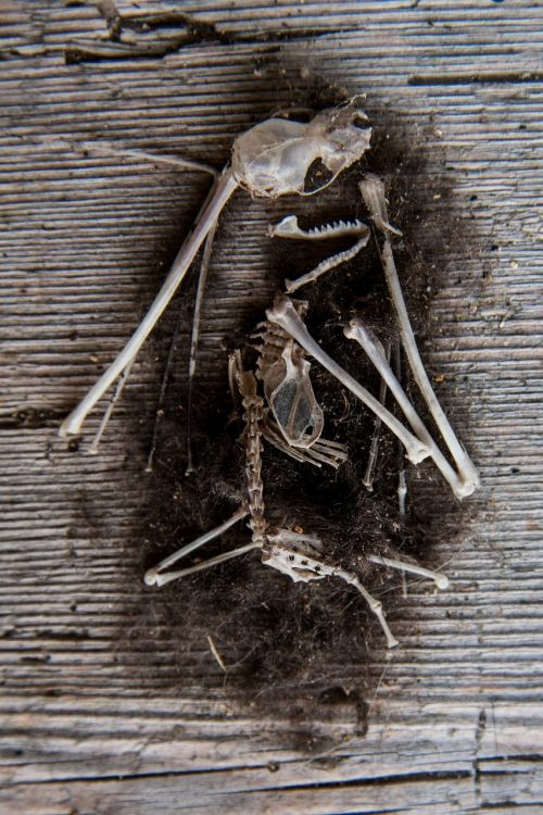 mouse skeleton bone pile