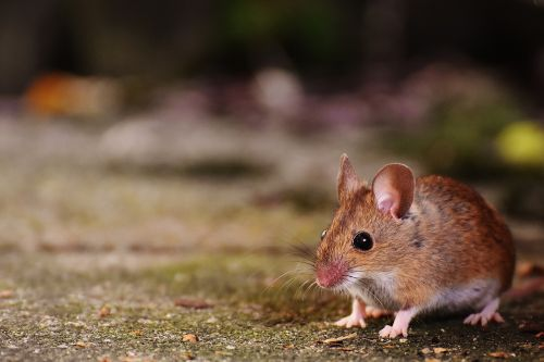 mouse rodent cute