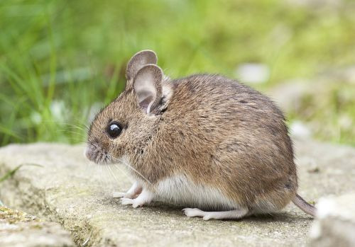 mouse nature rodent