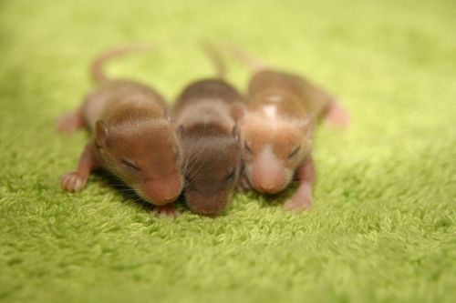 mouse color mouse baby
