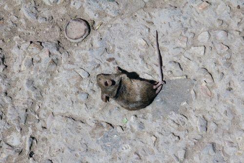 mouse dead death