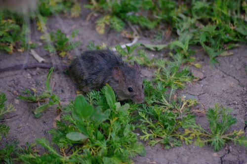 mouse rat grey