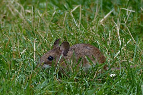 mouse rodent mus musculus