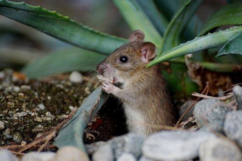 mouse nager animal