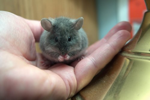 mouse  hand  grooming