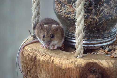 mouse  bird feeding station  eat