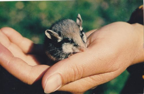 mouse wood mouse rodent
