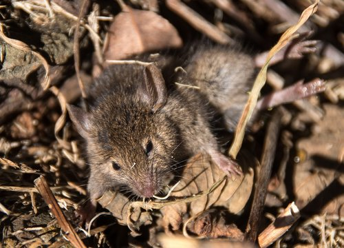 mouse  antechinus  marsupial mouse