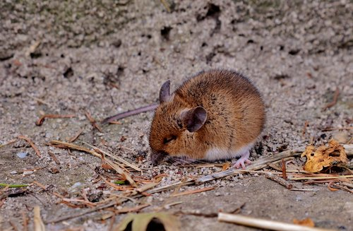 mouse  rodent  sit