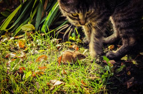 mouse cat field mouse