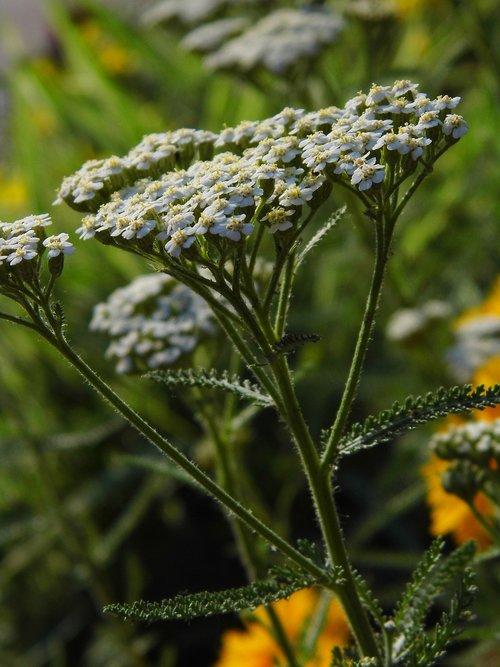 mouse tail  ranking plain  medicinal plant