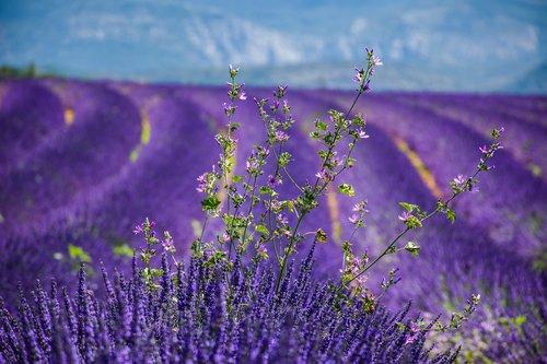 moustiers-sainte-marie  lavender  beautiful landscape