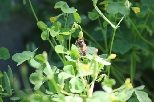 žalias, dobilas, gluosniai, pleistras, medus, bičių, sodas, galinis kiemas, apdulkintojas, apdulkinimas, gerti, nektaras, Ponas. dobilų bičių nektaras kas