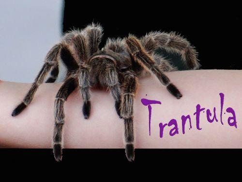 Mr. Tarantula