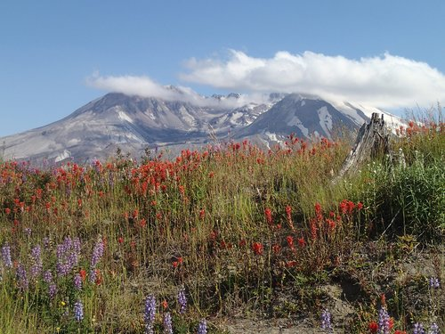 mt  st  helens indian paintbrush